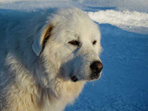 Golden Retriever vs Great Pyrenees Coat And Color