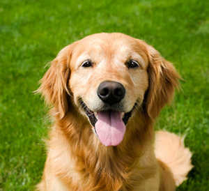Great Pyrenees And Golden Retriever Grooming Needs