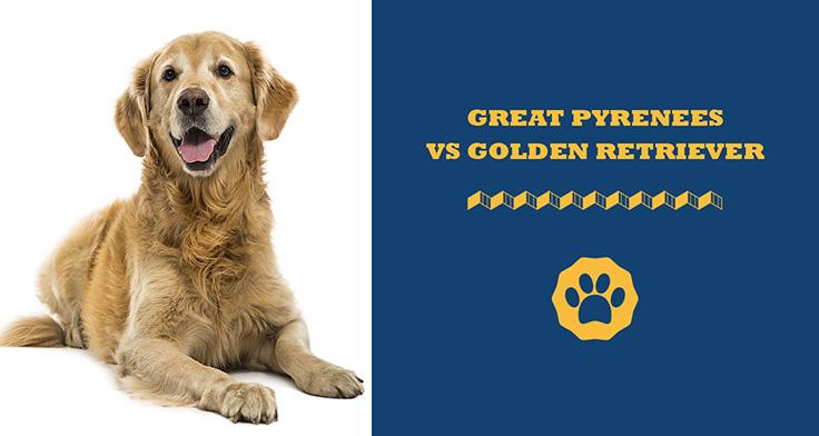 Great pyrenees vs golden retriever