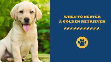 When To Neuter A Golden Retriever