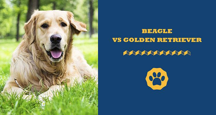 beagle vs golden retriever