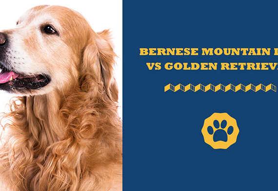 bernese mountain dog vs golden retriever