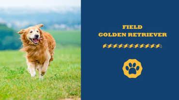 Field golden retriever