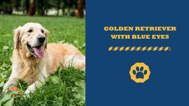 Golden retriever with blue eyes