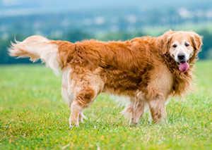 What Is A Field Line Golden Retriever?
